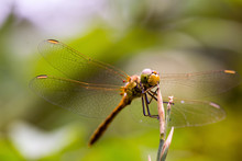 Macro Shot Of Dragonfly On Twig