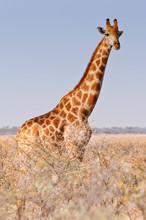 Giraffe Walking In The Bush On The Desert Pan In The Etosha National Park, Namibia, Africa.