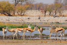 Springbok Antelopes (Antidorcas Marsupialis) In Natural Habitat, Etosha National Park, Namibia.