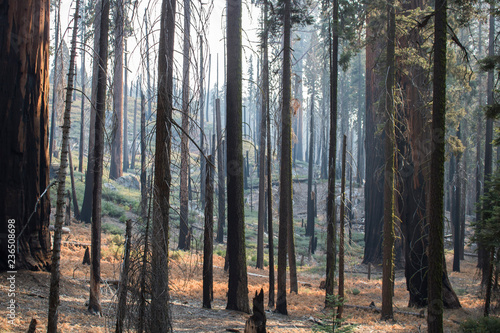 Aftermath of Fire in Forest with Burned Tree Grove Fototapet