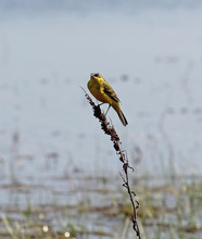Adult Male Western Yellow Wagt...