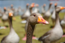 Closeup Of A Gray Duck Belonging To A Colony Are On A Lawn Next To The Bank Of A River