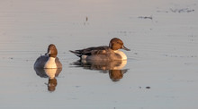 Pintail Ducks In Pond, Late Af...