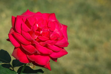 Close Up Of Blooming Red Rose On A Green Background
