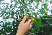 Citrus Japonica Thunb