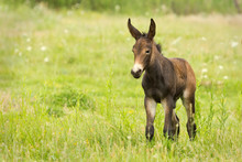 Young Mule In A Green Meadow