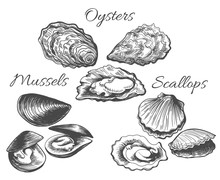 Oysters And Scallops Sketch. C...
