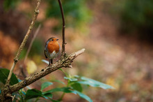 Little Robin Redbreast Sitting On A Branch In The Forest.