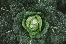 Savoy Cabbage After Rain