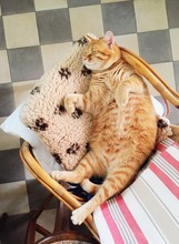 Cat Snugs On Chair With Bell U...
