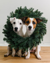 Funny Dogs In Christmas Wreath