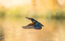 Male Kingfisher Coming Out Of The Water With Two Fish In His Beak