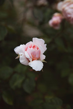Flowers In Front Yard Gardens - Pink Rose