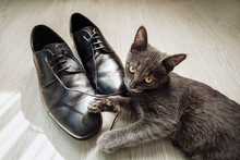 The Kitten Plays With The Laces From The Mens Shoes. Beautiful Black Men's Shoes