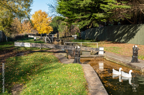 Keuken foto achterwand Geese swimming in canal with closed lock in Cheshire UK
