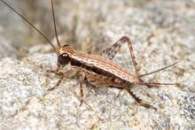 Striped True Cricket (gryllida...