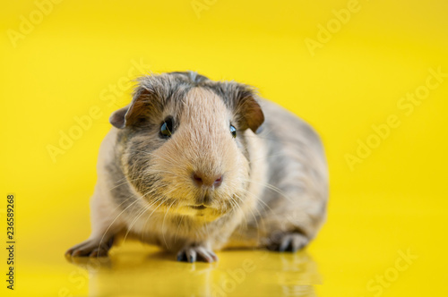 Foto Smooth-haired guinea pig beige-black colors on a yellow background