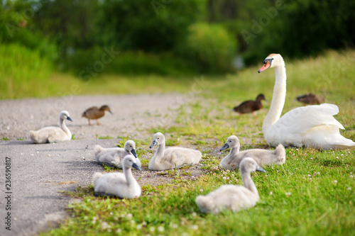 Fotografija Mother swan and her younglings resting on green grass