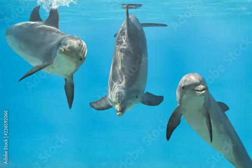 Pinturas sobre lienzo  3 playful dolphins underwater