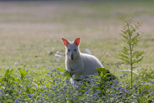 Rare White Albino Wallaby Grazing On Bruny Island Tasmania