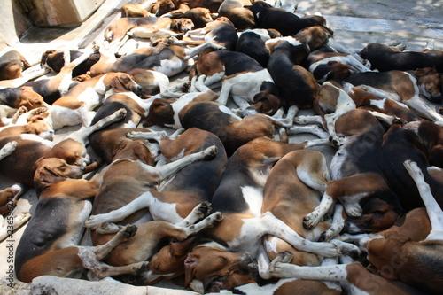 Obraz na plátně Les chiens de cHEVERNY