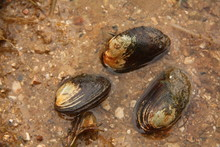 Freshwater Thick-shelled River Mussel On A Close Up Horizontal Picture In Its Natural Habitat. A Rareand Endangered Mollusc Species Occurring In Clean Rivers And Lakes.