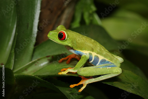 Tuinposter Kikker Red-eyed tree frog, an arboreal hylid native to Neotropical rainforests on a close up horizontal picture. A colorful species with large eyes sometimes bred as a pet.