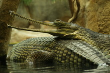 Portrait Of A Gharial. A Close Up Picture Of The Rare And Critically Endangered Species Of Asian Crocodile.