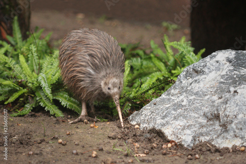 Fotografie, Obraz The North Island brown kiwi on a close up horizontal picture