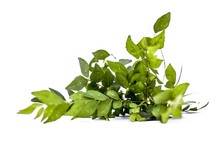 Close Up Of Fresh Curry Leaves Or Sweet Nim Or Sweet Neem Or Khadhi Patta Or Kadi Pata Isolated On White Also Known As Murraya Koenigii Or Meetha Limbda.