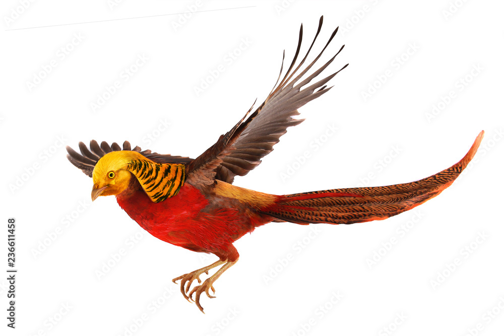 Photo  pheasant gold in flight isolated