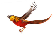 Pheasant Gold In Flight Isolated