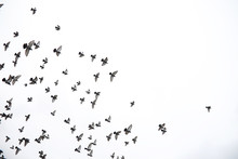 A Flock Of Pigeons Flies Acros...
