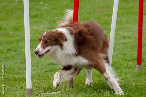 Fotografía  Border collie marron et blanc en parcours d'agility