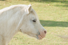 Welsh Mountain Pony An Ancient...
