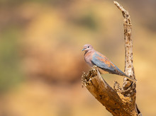 Portrait Of Laughing Dove, Str...