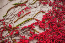 The Wall Is Covered With A Loach With Autumn Red Leaves