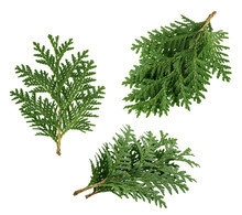 Branch Of Thuja Isolated On Wh...