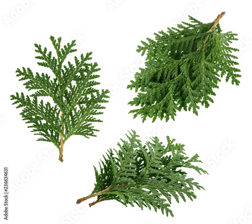 Fotomural Branch of thuja isolated on white background