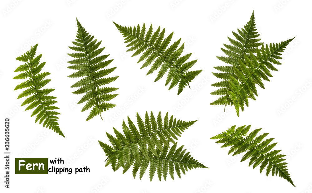 Fototapeta Fern leaves isolated on white with clipping path