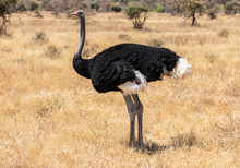 Full Body Portrait Of Male Somali Ostrich, Struthio Camelus Molybdophanes, In Tall Grass Of The Northern Kenya Savannah With Landscape In Blurred Background
