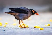 The Common Myna Or Indian Myna (Acridotheres Tristis), Sometimes Spelled Mynah, Is A Member Of The Family Sturnidae (starlings And Mynas) Native To Asia.