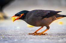 The Common Myna Or Indian Myn...