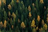 Jesienna scena leśna. Zielone i żółte drzewa kontrastują na zboczu wzgórza. - 236650218
