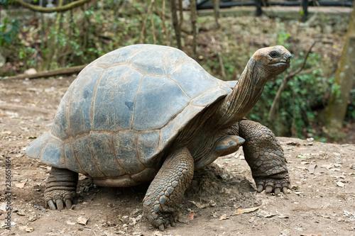 Fototapeta premium Żółw Galapagos w rezerwacie przyrody