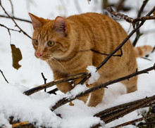 Orange Striped Kitten Outside For His First Snowfall Adventure.