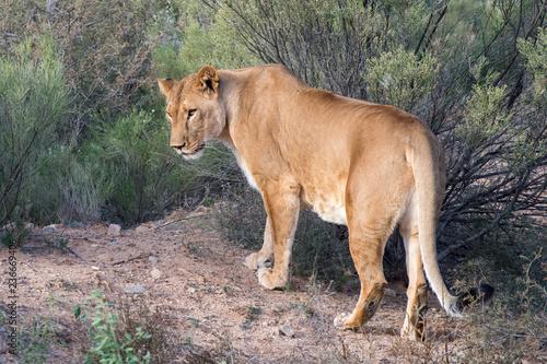 Fotografie, Obraz  Lioness walking through the Brush, Glancing over Shoulder
