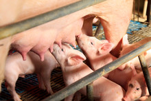 Lactation Sows And Piglets In A Farm