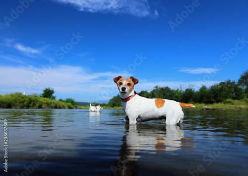 Fotografie, Obraz  ジャックラッセルテリア 川で遊ぶ