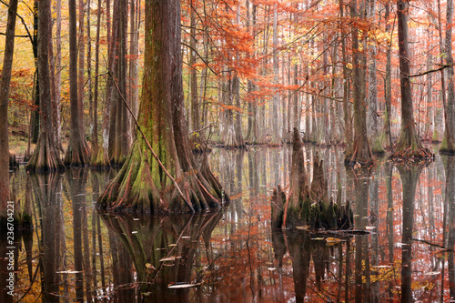 Fotobehang Bomen Beautiful bald cypress trees in autumn rusty-colored foliage, their reflections in lake water. Chicot State Park, Louisiana, US